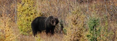 Grizzly # 1 gespot 50km westelijk van Watson Lake.